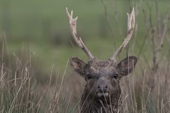 Sika deer, stag,hind, calf portrait while in long grass Royalty Free Stock Photo