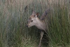 Sika deer, stag,hind, calf portrait while in long grass Stock Photography