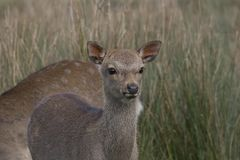Sika deer, stag,hind, calf portrait while in long grass Royalty Free Stock Photography