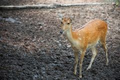 Sika deer standing on ground Stock Photos
