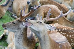 Sika deer take care royalty free stock images