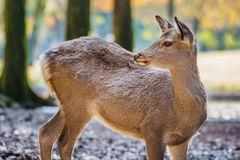 Sika Deer at Tamukeyama Shrine in Nara Royalty Free Stock Photos
