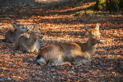 Sika Deer at Tamukeyama  Shrine in Nara Royalty Free Stock Images