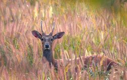 Sika deer. This sika deer is in thick growth of grass,its wet black nose shows its strong body royalty free stock image