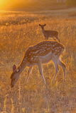 Sika deer. In the vast grasslands, the freedom of sika deer eat grass Royalty Free Stock Photography
