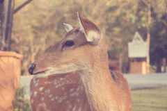 Sika deer  - Vintage Stock Photo