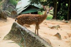 Sika Deer,white-tailed deer Stock Image