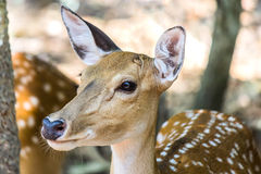 Sika deer wild animal Royalty Free Stock Photography