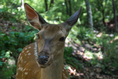 Sika deer. Deer in the wild close-up shot on the forest background Stock Photo
