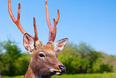Sika deer in wildness Stock Photography