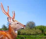 Sika deer in wildness. Head of Sika deer (Cervus nippon) in wildness stock images