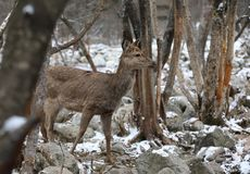 Sika deer in the winter forest Royalty Free Stock Photos