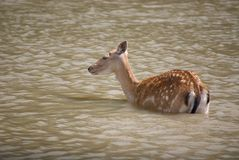 Sika Deer. A young sika doe navigating shallow waters Royalty Free Stock Image