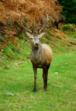 Sika deer. Young male Sika deer (cervus nippon).  Located on Fairgirth hill, Sandyhills, Dumfries and Galloway, Scotland Royalty Free Stock Image
