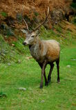 Sika deer Royalty Free Stock Images