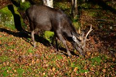 Sika deer. Young male Sika deer (cervus nippon).  Located on Fairgirth hill, Sandyhills, Dumfries and Galloway, Scotland Stock Photos
