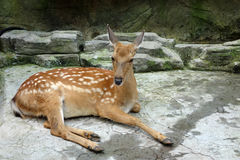 A sika deer Royalty Free Stock Image
