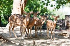 Sika deers Stock Image