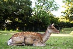 Sika Deers bij het Park van Nara Royalty-vrije Stock Foto