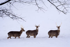 Sika Deers (Cervus nippon) in the snow. Three Sika Deers (Cervus nippon) in the snow. Sika Deer are widespread in Japan, they feed on grasses, leaves, twigs Royalty Free Stock Images