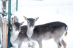 Sika deers, Cervus nippon, spotted deer. Walking in the snow on a white background royalty free stock photo