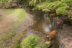 Sika deers drinking water in woodland Royalty Free Stock Image