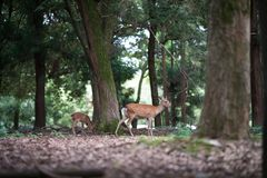 Sika deers. A female sika deer and her baby in the forest,Nara Japan royalty free stock photography