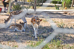 Sika deers in Friguia Animal Park. Hammamet,Tunisia. Stock Images