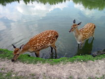 Sika deers Royalty Free Stock Photos