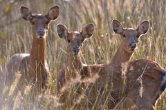 The sika deers. These sika deers are very docile in their eyes,it looks like mother's expression.They are ready to pass the winter stock photos