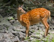 sika för 4 hjortar arkivbild
