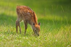 Sika Fawn Royalty Free Stock Images