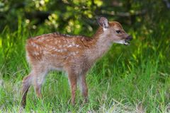 Sika Fawn Stock Photography