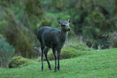 Sika fawn deer. View of a sika fawn in a grassy area in profile view Royalty Free Stock Images