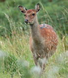 Sika hind. View of a sika hind up close Royalty Free Stock Image