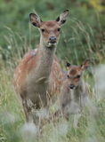 Sika hind. View of a sika hind and fawn up close taken on the dublin mountains,green background Stock Photos