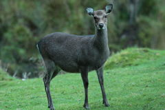 Sika hind deer. Royalty Free Stock Image