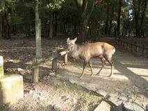 Sika hjort i parkerar av Nara Royaltyfri Bild