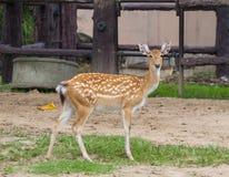 Sika hjortar Fotografering för Bildbyråer