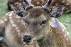 Sika hjortar i Nara, Japan royaltyfri bild