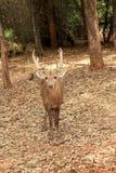 Sika hjortar i naturen Arkivfoto
