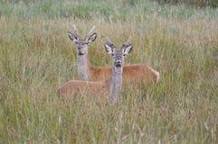 Sika hjortar i ny skog royaltyfria bilder