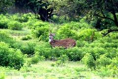 Sika hjortar i Sri Lanka Fotografering för Bildbyråer