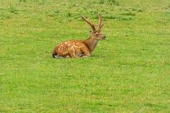 Sika hjortar på bakgrunden av lantgården eller zoo för grönt gräs Arkivbild