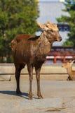 Sika hjortar på den stora södra porten av den Todaiji templet Arkivfoto