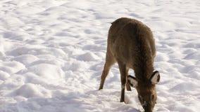 Sika hjortar på vinterbakgrund arkivfilmer