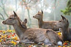 Sika hjortar som vilar i Nara, Japan arkivbild