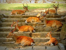 Sika Japanese deer resting on a staircase in Nara Wakakusa park Royalty Free Stock Images