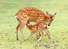 sika jeleni potomstwa Obrazy Royalty Free