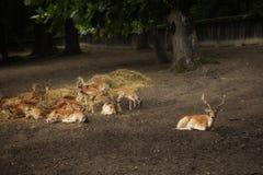 Sika a repéré des cerfs communs images stock